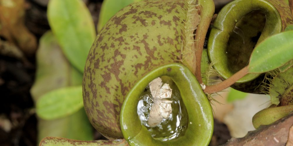 Pitcher plant (Nepenthes ampullaria) with a trapped moth  in swamp lowland rainforest, Mulu National Park and World Heritage site, Sarawak, Malaysia. IUCN=Least Concern.